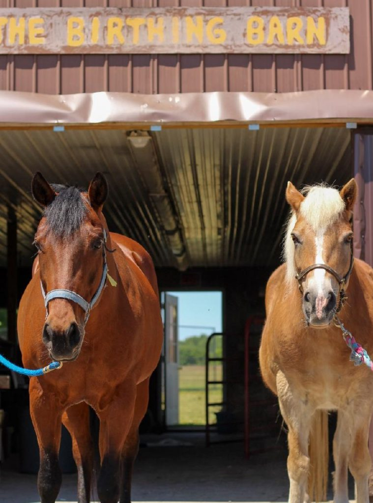 Horse's Happy & Blondie in front of the Birthing Barn